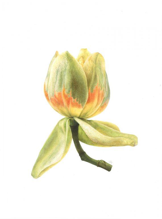 Tulip Tree Hi DPI